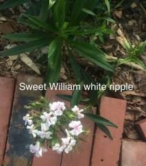 sweet william white ripple