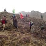 Picking and searching Himalayan herb