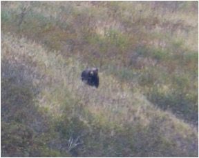 Brown bear on hills side