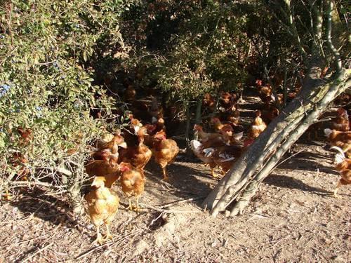 poulets arbres volailles