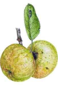 fremy pomme anjou