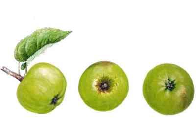 reinette tendre pomme anjou