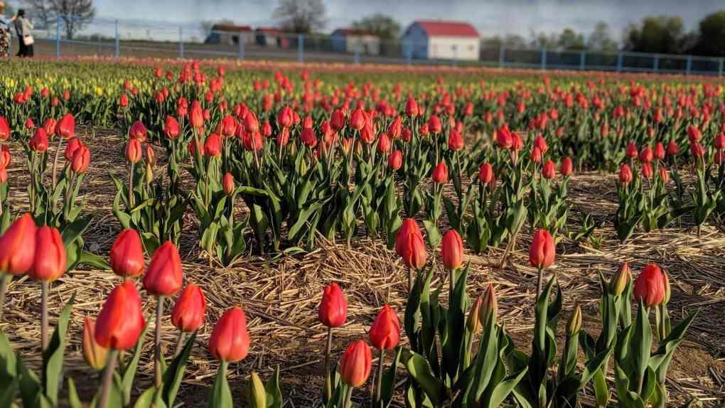 La nature renaît avec l'arrivée de tulipes