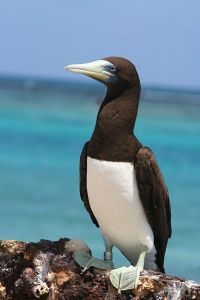 18. The juvenile brown boobies who perched on Joyful will grow up to look like this adult brown booby.  This photo is from the internet.