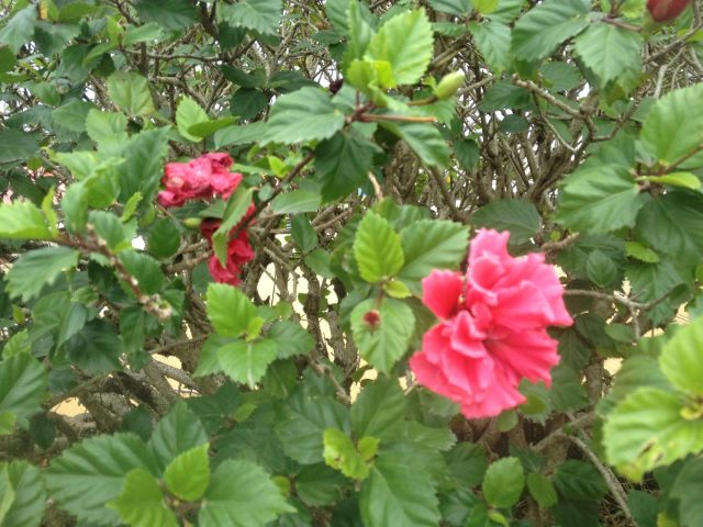 12. The hibiscus plant has many uses, including fibers from which to weave the traditional wrap worn over sarongs in Tonga