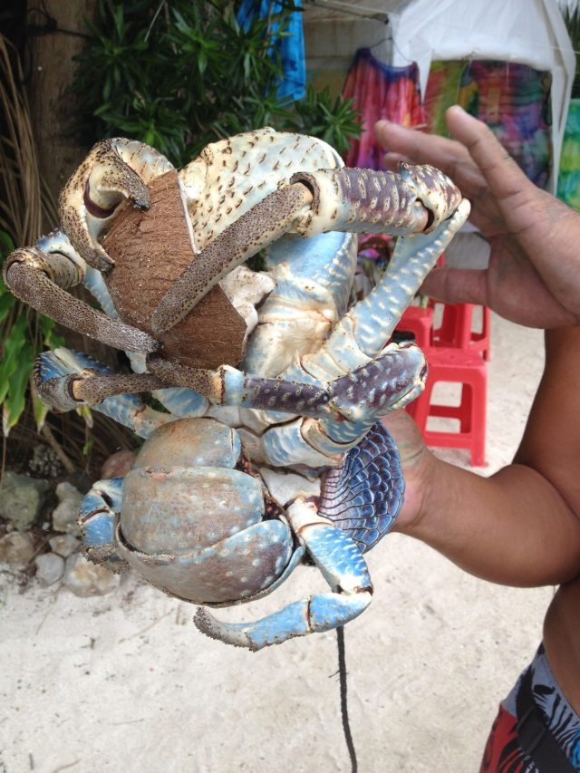 29. This is a close up of C.T. the 15 year old coconut crab enjoying eating a coconut for elevenses!  Note how his owner, Christoph, is keeping his hands well away from C.T.'s giant powerful claws!