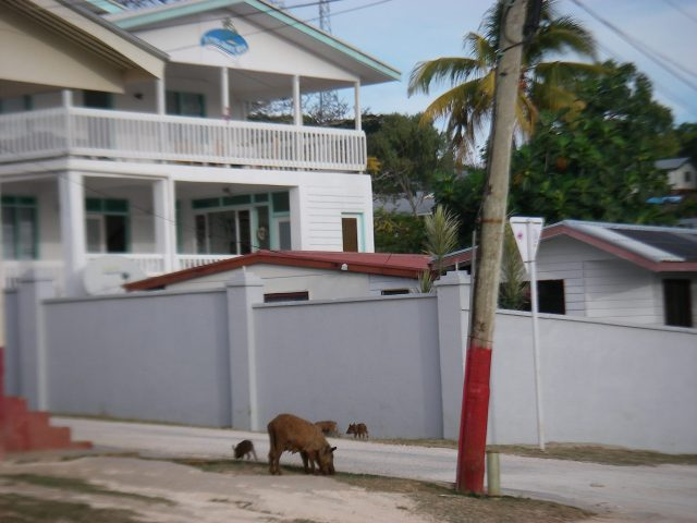 68. Pigs roamed free in Neiafu. According to some veterinarians, most of them do not have enough nutrious food to eat, and therefore, are unhealthy for people to eat. They said some pigs are fattened for slaughter, and those are OK to eat