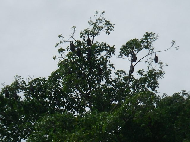71. Fruit bats slept in the trees near Joyful. They flew around at dusk and into the night. They were quite large! We hoped they would not get caught in Joyful's wind generator