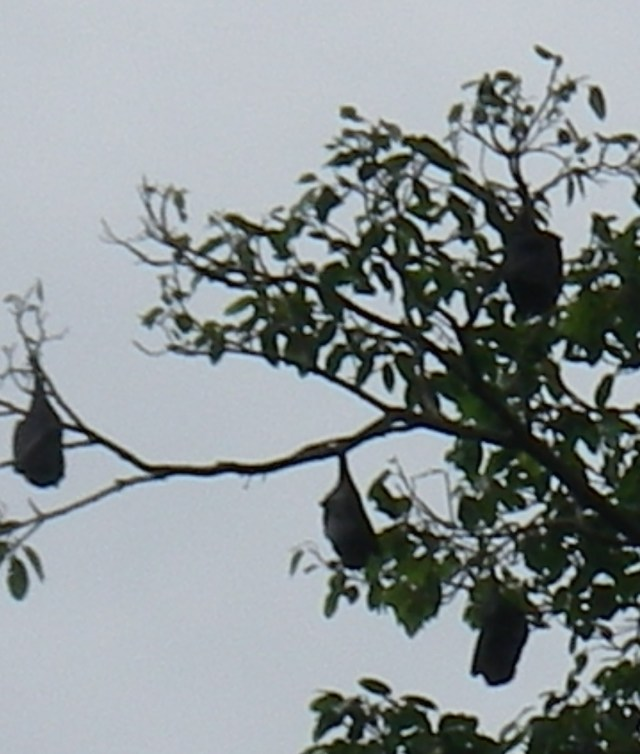 73. Wild fruit bats slept in the trees next to Joyful every night and hunted in the middle of the night