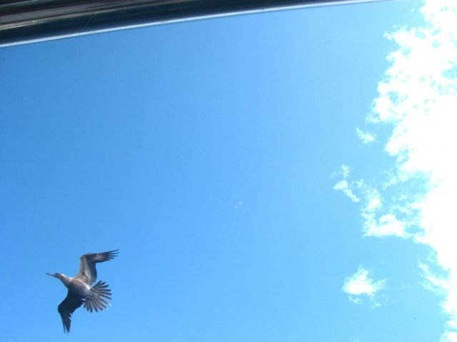 29-another-bird-that-was-unsuccessful-in-his-many-attempts-to-land-on-joyfuls-wind-vane