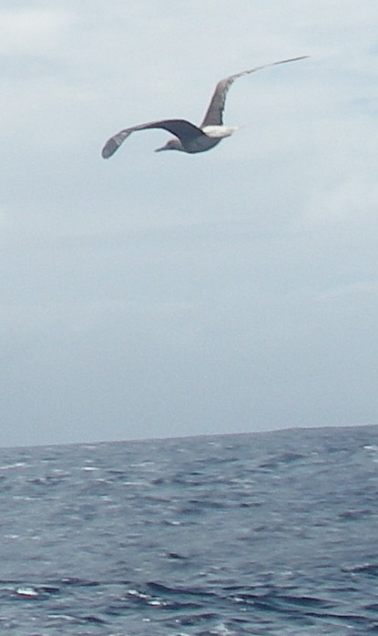 40-some-sea-birds-have-huge-wingspans-others-medium-size-the-little-land-bird-in-the-caribbean-sea-off-of-panama-who-sailed-with-us-had-a-tiny-wing-span-but-a-big-courageous-heart
