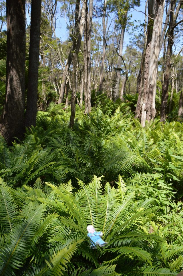 136.2. Flat Mr. Davis walked through a forest of Eucalyptus trees and giant ferns in Victoria, Australia