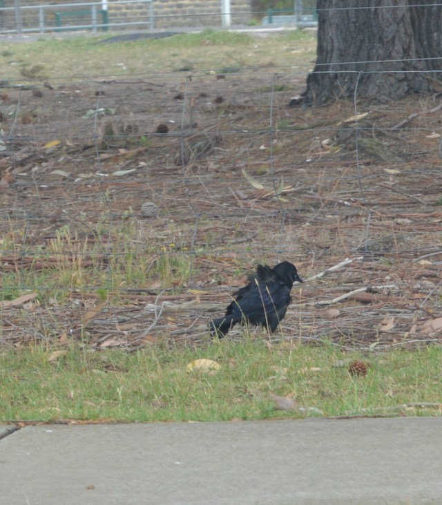 141. We saw this black raven type wild bird with black feathers in Wonthaggi, Victoria, Australia in December 2015