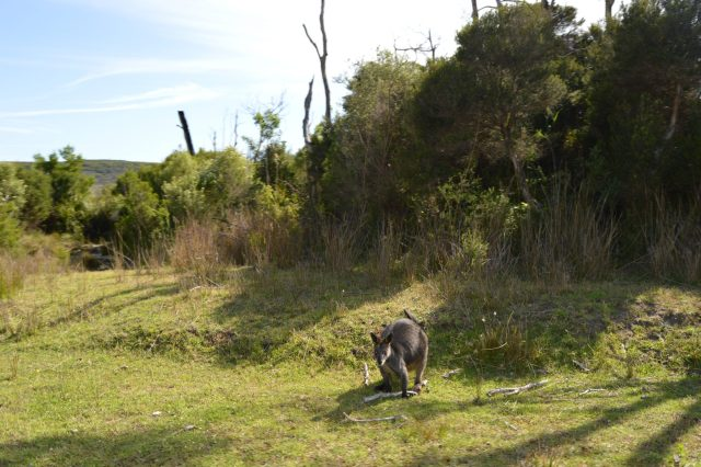 150.1. On the drive back to Phillip Island we saw a kangaroo on the side of the road looking at us