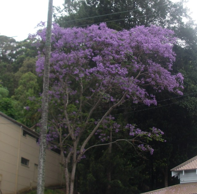 35. This extraordinarily beauatiful flowering tree was common all over the Sydney: Pittwater area. MGP0049