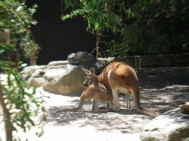 58.3. A mother kangaroo feeds her joey in Sydney at the Taronga Zoo