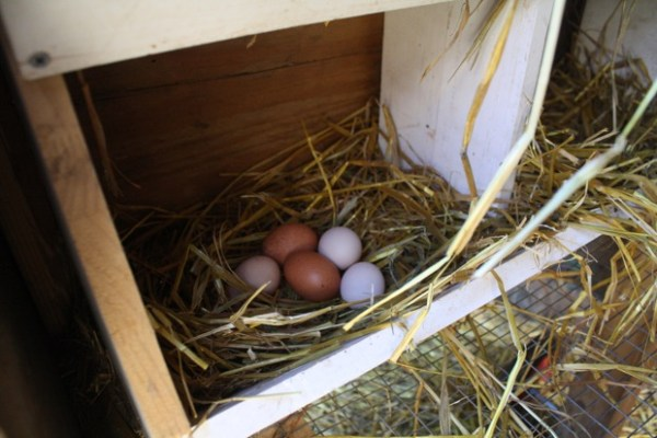 On average, Kooy's chickens lay four to five eggs per day.