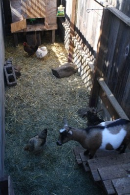 Legally, residents in San Francisco may have four chickens on their property. In addition to birds, Kooy also raises two small goats.