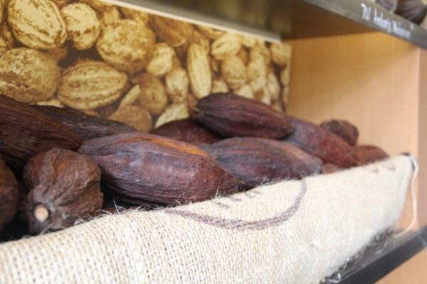 Unlike these dried versions, ripe cocoa pods are often a vibrant yellow or orange. Photo by Joe Rivano Barros.