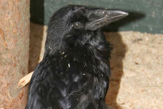 Grok the Raven. Photo courtesy of the Randall Museum