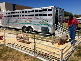 Pigs return into trailer after completing their race