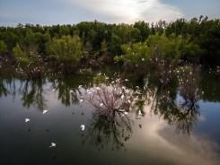 Swamp Egrets — 2020