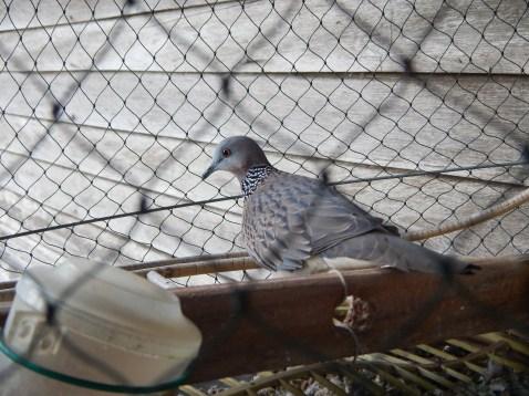 Pigeon rearing in Kuantan, Pahang