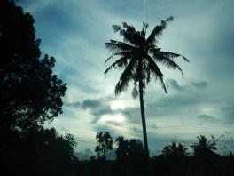 Coconut tree, Nenasi, Pekan, Pahang.