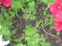 Garden update 007