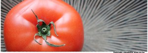 an organic red tomato