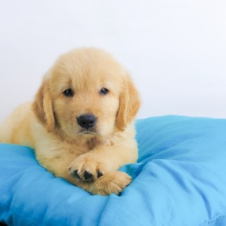 puppy on a blue pillow