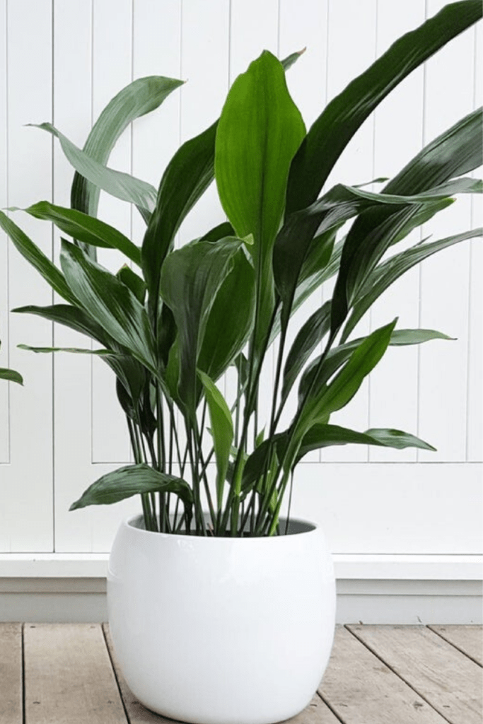 Cast Iron Plant that absorb moisture from the bathroom. Keep your indoor humidity balanced with Iron cast  plants