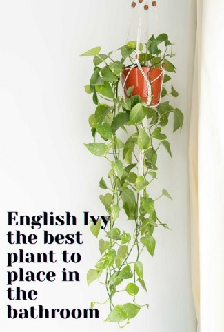 English Ivy  the best plant to place in the bathroom to purify the air
