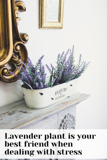 Lavender one of the best indoor plants for anxiety relief
