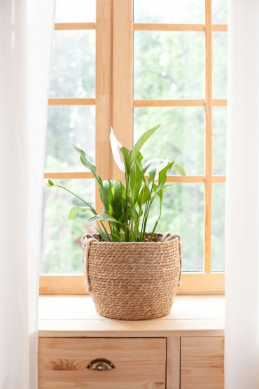 Peace lily plants for stress relief
