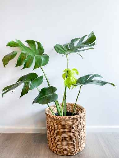 Philodendron for anxiety relief