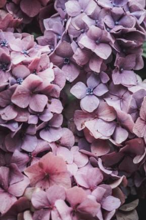 Purple hydrangea iPhone background wallpaper