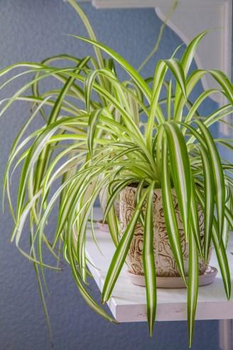 Spider Plantone of the best plants to absorb indoor moisture