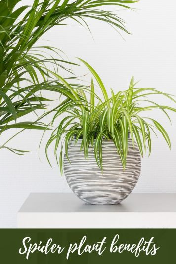 Spider plant benefits for dealing with anxiety and stress