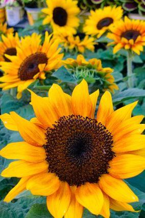 Sunflower  phone wallpaper background