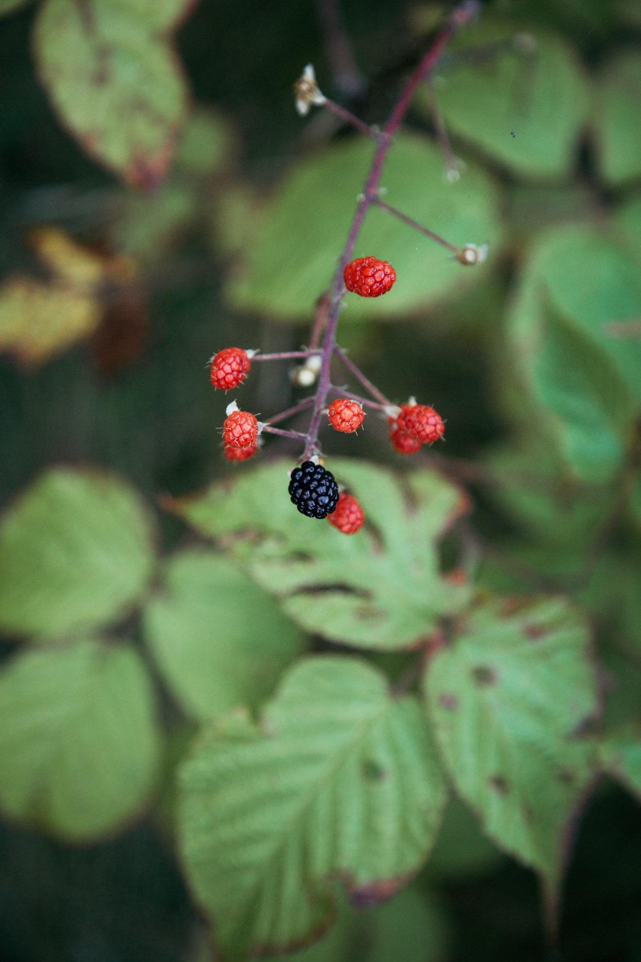 Blackberry Picking | Miss Northerner
