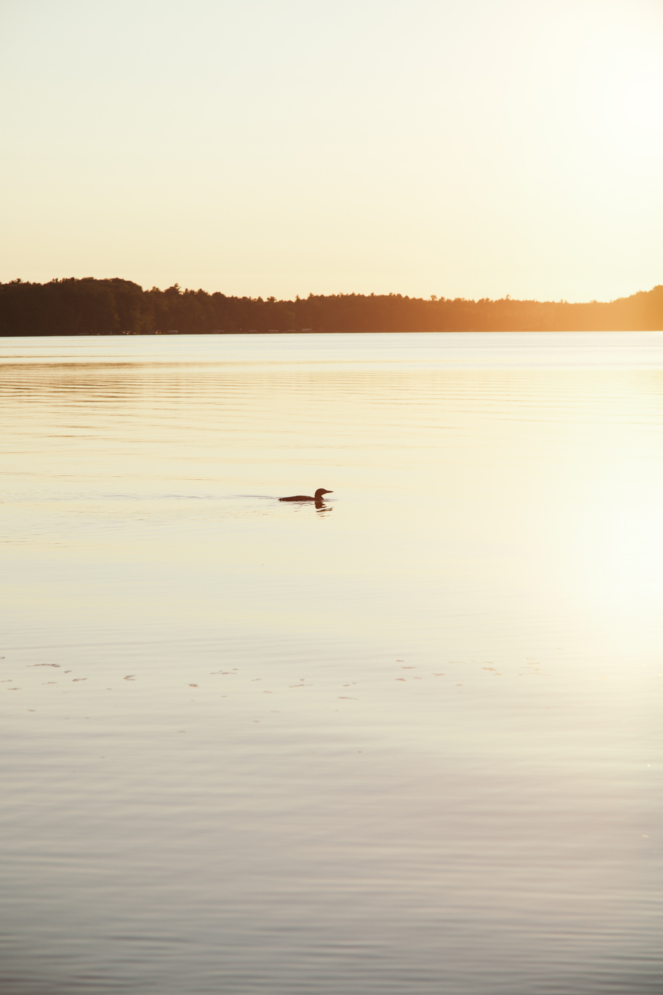 loon on a lake at sunset in wisconsin