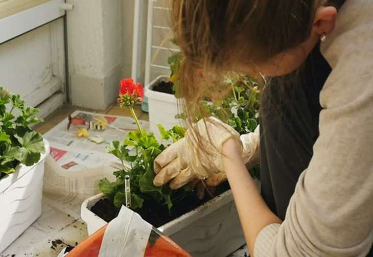 Why does the room geranium yellow leaves? What to do if the