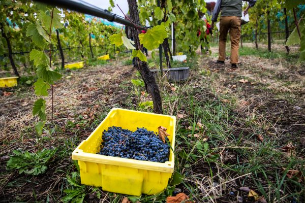 This weekend - October 9-11th - is the annual community grape harvest at Ten Spoon Winery and Vineyard in Missoula, Montana