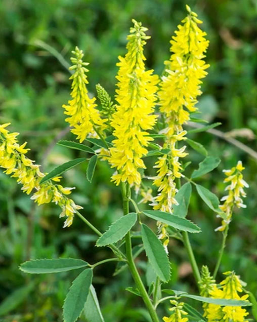 Yellow Blossom Sweet Clover