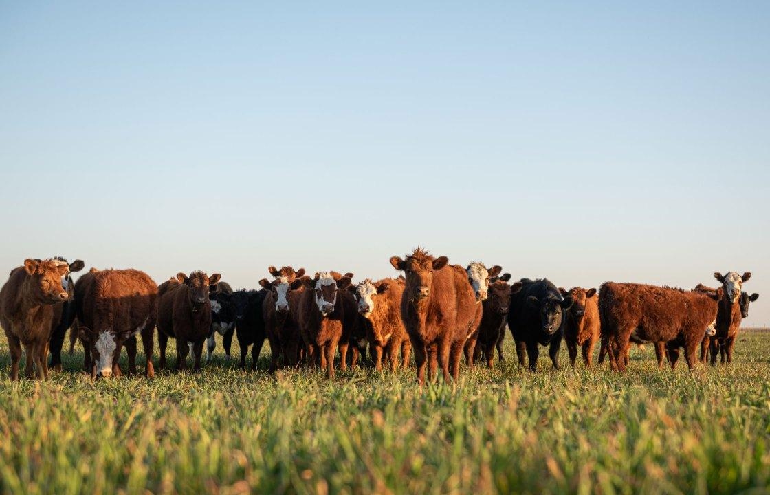 Cattle in Forage Grass
