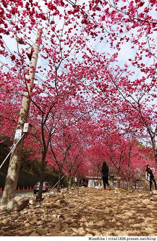 2015台中賞櫻 新社 大南坡 櫻花秘境 129縣道 櫻木花道15