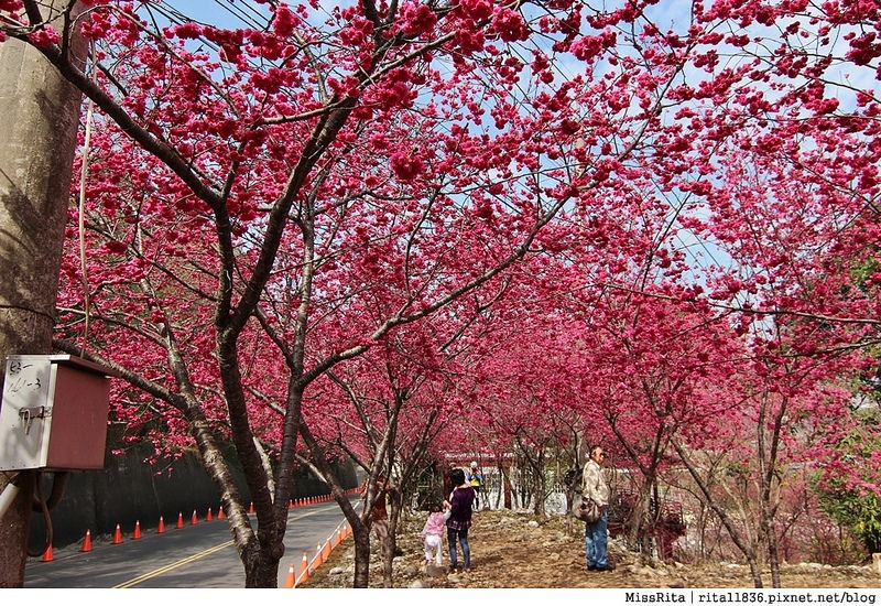 2015台中賞櫻 新社 大南坡 櫻花秘境 129縣道 櫻木花道21