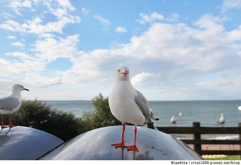 KKDAY 墨爾本自由行 melbourne gowesttours kkDAY墨爾本 墨爾本企鵝 澳洲自助 墨爾本自助 菲利浦島 菲利浦島交通 墨爾本必去 墨爾本酒莊 月光野生動物 Nobbies 墨爾本企鵝歸巢 墨爾本一日遊 菲利普島一日遊,小企鵝歸巢遊行86