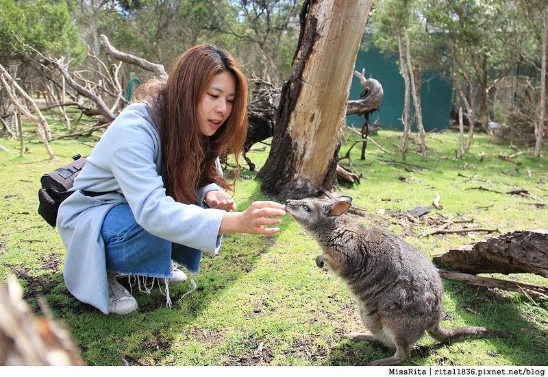 KKDAY 墨爾本自由行 melbourne gowesttours kkDAY墨爾本 墨爾本企鵝 澳洲自助 墨爾本自助 菲利浦島 菲利浦島交通 墨爾本必去 墨爾本酒莊 月光野生動物 Nobbies 墨爾本企鵝歸巢 墨爾本一日遊 菲利普島一日遊,小企鵝歸巢遊行56